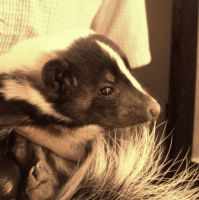 A pretty little skunk. by SteffiSTEREO