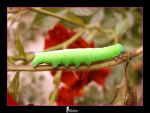 'Une chenille verte ...' by Nobiax