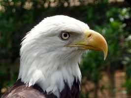 Bald Eagle by ceemdee