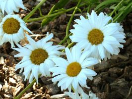 White Daisies II by AtomicBrownie