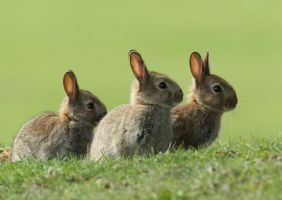 Young Rabbits by Albi748