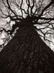 Oak of the missions by yuushi01