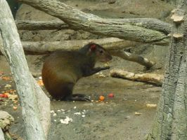 Agouti Is Hungry by superpower-pnut