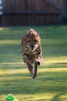 Cheetah 1 by dkbarto