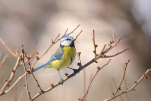 A blue tit by Rajmund67