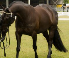 Partbred Friesian arched neck by AmoretteRose