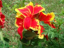 Red and yellow flower by yesmeena