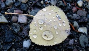 Aspen Leaf After Rain by dareiqsan