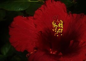 Red Hibiscus by Midnyt-Moonlight