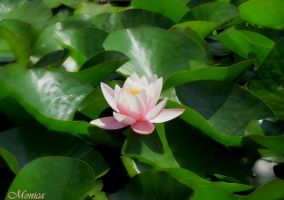 Waterlily by MonicaFlower