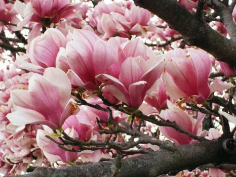 Pink Blossoms by Idesknife