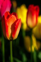 From my garden ... tulips by klossone