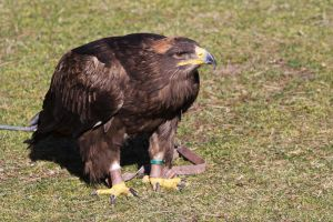 Steppe eagle by UdoChristmann