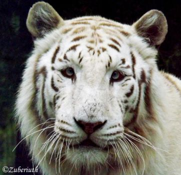 White Tiger Closeup by Zuberiuth