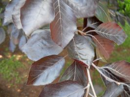 Copper Beech Leaves_Monticello by Chlodulfa