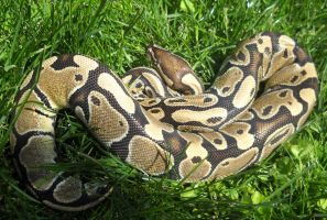 Norm ball python by CrazyViper