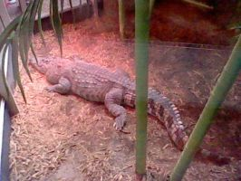 American Alligator by SNlCKERS