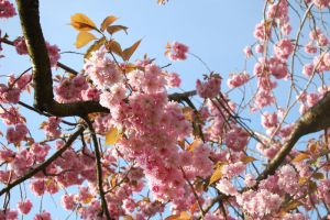 Cherry Blossoms 2010 by MewTangerine