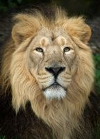 Asiatic Lion - Chester Zoo by dranrebesor