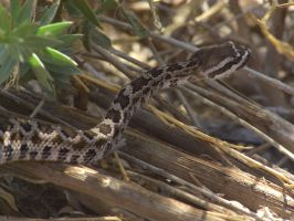 Baby Rattler by Bugabooloo