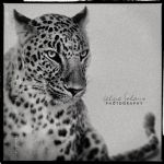 Panthera pardus by IMAGENES-IMPERFECTAS