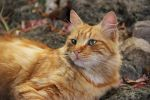 Le Chat roux by Flore-stock