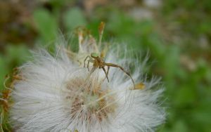 Small spider on the dandelion by alennzg