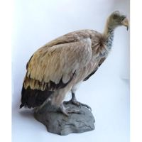 mounted Himalayan vulture by Museumwinkel
