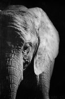 Elephant by Arkus83