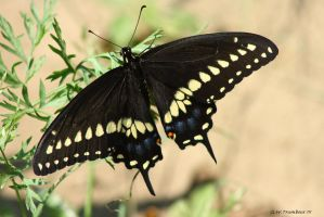 A Black Swallowtail by natureguy