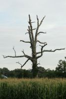 Old dead tree by Callalilybeauty