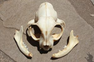 Cat Skull 1 by Tea-and-Taxidermy