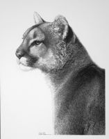 Puma by billharrison