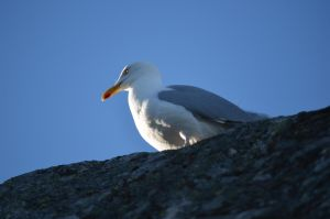 Seagull by lottsnott