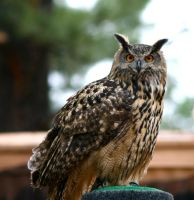 European Eagle Owl by LuckyIrishEyes