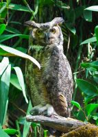 Great Horned Owl by ncfwhitetigress