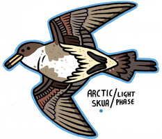 Arctic Skua Light Phase by captainalec