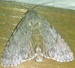 Big Moth (Opened Wings) by AncientEchidna