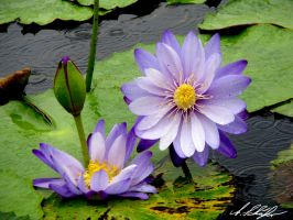 crying water lilys by Stratege