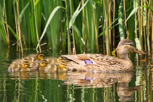 Hiding among the reeds by starykocur