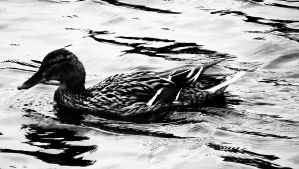 Mallard by graphic-rusty