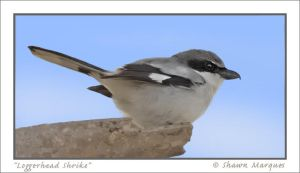 Loggerhead Shrike by hey-man-nice-shot