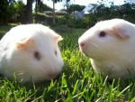 Guinea Pigs by Mutatious