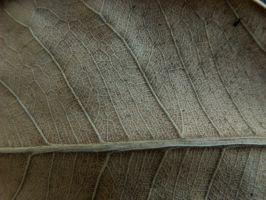 Texture- Dry Leaf 2 by AilinStock