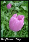 Flower: Tulip by vigshane