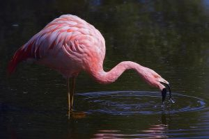 Flamingo by Roby17