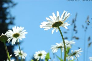 Daisies from Underneath 1 by M-L-Griffith