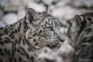 Snowleopard, KA III by FGW-Photography