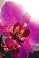 Pink Orchids III by LDFranklin