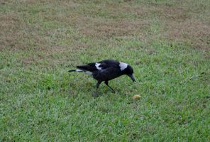 Magpie feeding by Megalomaniacaly